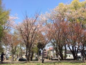 サイクリングロード桜